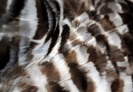 arsenic on owl feathers